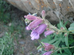 Penstemon - Olympic Mountains