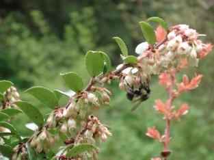 Bumblebee pollinating Evergreen Huckleberry