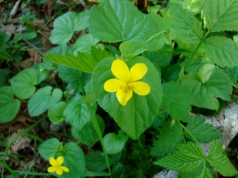 Wild Yellow Violet