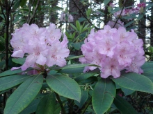 Pacific Rhododenron