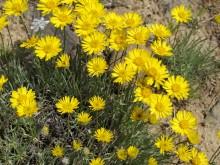 Linear Leaf Daisy - Breezly Preserve