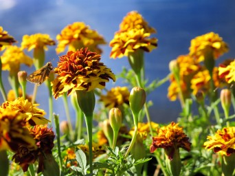 Skipper blending into marigolds!