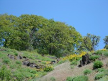 Garry Oaks on high hills colored yellow with Balsam Root
