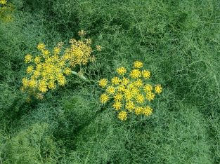 wild parsley