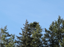 an eagle stands guard over it's half grown fledgling. So high up, I doubt few even knew it was there