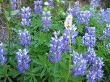 Lupine and American Bistort