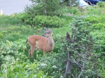 deer at Paradise