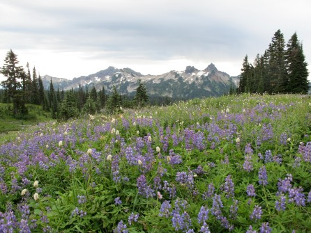 the mountains around Mt Rainier are equally majestic, here with a field of lupine at Paradise