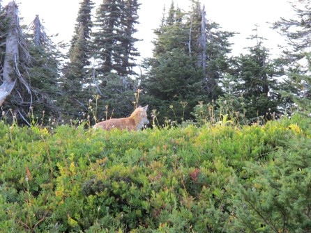 a red fox at Paradise