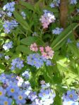 Forget-me-nots surprise us each year, showing up in new places!