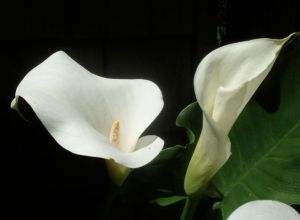 Also from the farmhouse, I stuck some of these calla lillies in the ground near the house and forgot about them for several years. Not getting much water under the eaves, they just went dormant, but one year decided to wake up and grow. Was I surprised to see them! Another example of plant resilience!