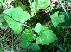It's name being Trail Plant, this lovely plant has dusky gray undersides to its leaves and grows...along trails!