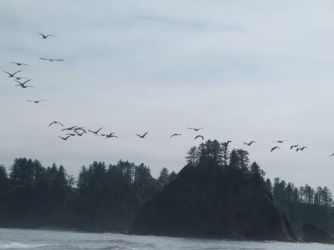Brown Pelicans are a constant sigh at Rialto
