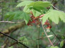 Vine Maple (ok, I cheated, these are the tree's flowers)
