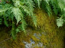 Quintessential NW - ferns and moss growing on a rock!