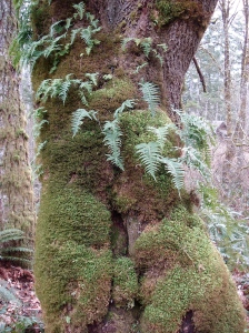 """classic"" NW - ferns & moss growing on Big Leaf Maple"