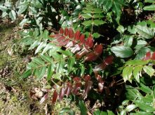 though evergreen, leaves of Oregon Grape turn red when they are dying, could be any time of the year