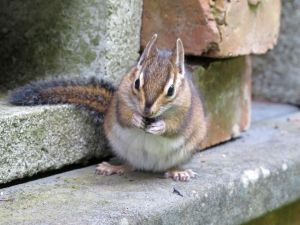 A late summer chipmunk is very focused on eating a blueberry.