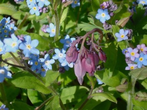 bleeding heart with forget-me-nots
