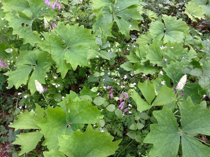 Spring mix - Vanilla Leaf, Bleeding Hearts and Miner's Lettuce