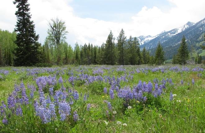 Lupine Meadows in Grand Teton NP