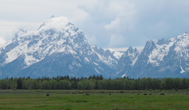 a herd of big bison look very small compared to the mountains!