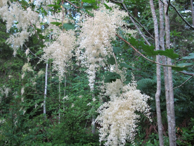 Most NW woods native plants are through blooming by mid-June, but Ocean Spray is in it's glory, cascading it's creamy white bloom clusters over the surrounding green.