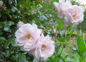 Pink old fashion roses, hudnreds of them, cover our garden gate arbor.