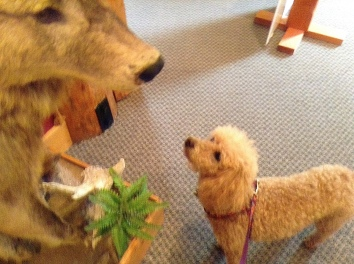 Abby seemed quite intrested in the 'wild life' at the Sacajawea Center, but didn't understand why there was no animal scents on their bodies!