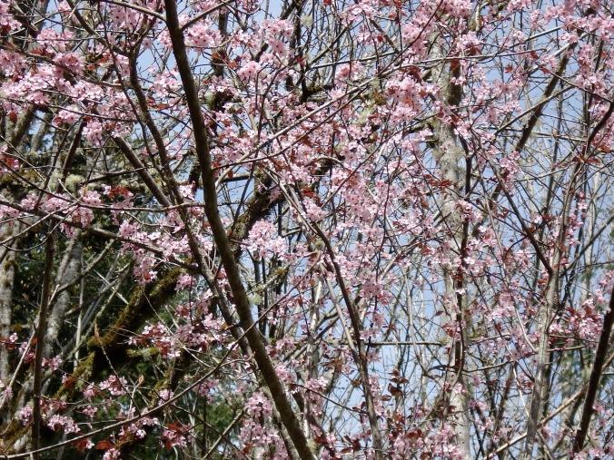 peach tree in spring