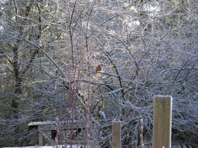 The peach tree out my window in winter frost and full of birds, all that is visible is a plump Varied Thrush.
