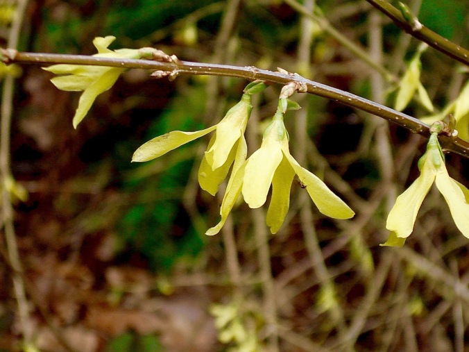 Pink and yellow seem to be the colors of early spring, with forsythia joining the daffodils as bits of sunny yellow.
