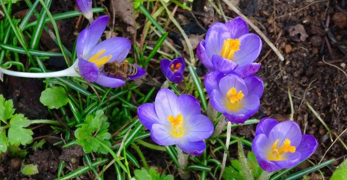 Already gone, crocus offer an early pollen treat to bees.