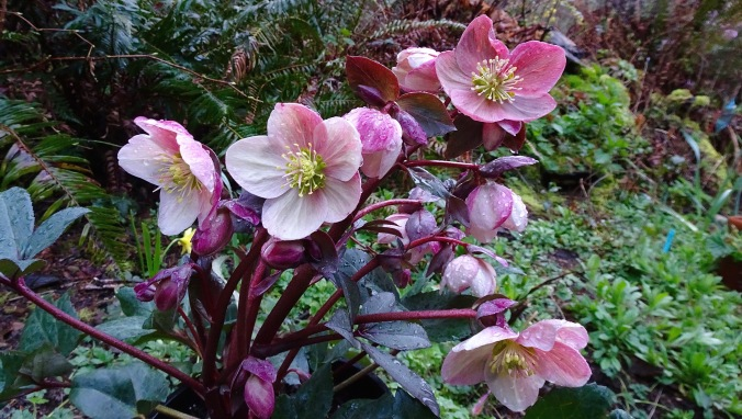 Hellebores are a lovely blooming plant that seem to bridge winter to spring