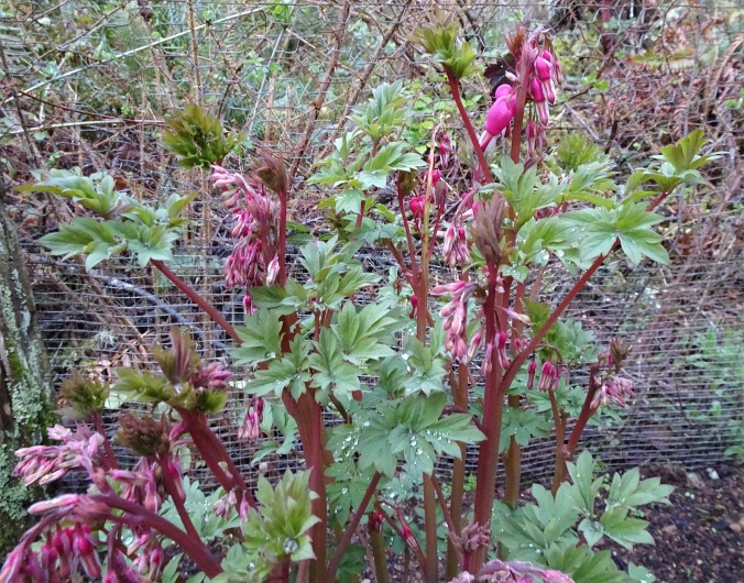 "Another plant waiting to burst forth is domestic Bleeding Heart, this one in our new little ""chicken coop"" garden, safe from deer who munched it last year."