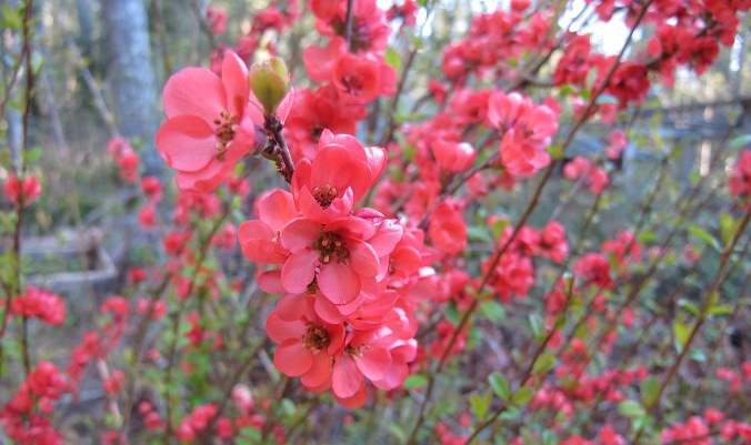 Another spring bush adding vivid color to our morning walk is this quince
