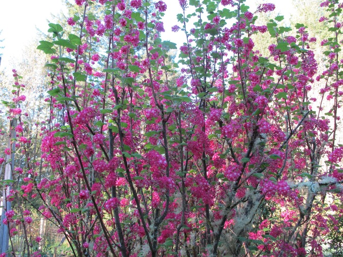 The flowering current bush in it's glory outside my bedroom window, about 8' tall!