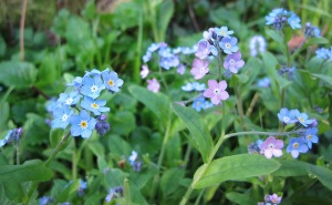 Most forget-me-nots are blue but pale pink and white blooms are occasionally seen