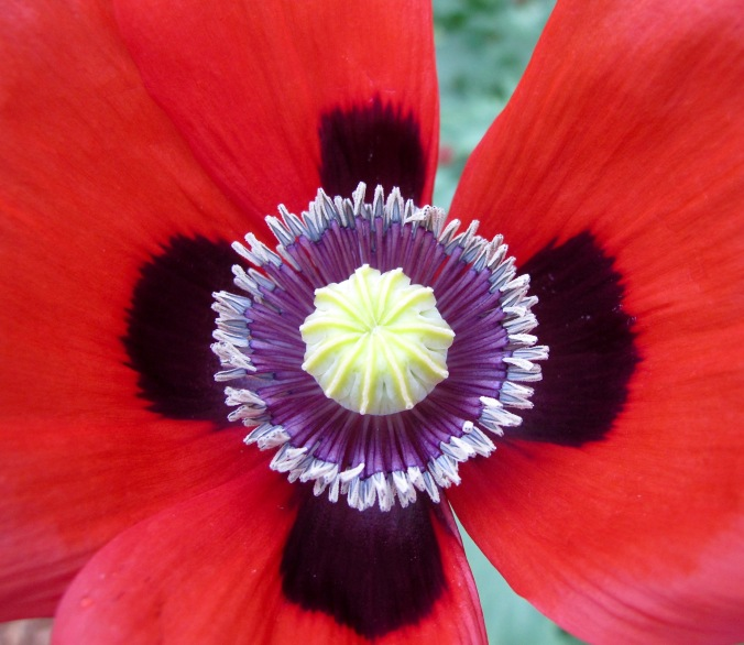 Nature creates beautiful harmonious mandals grid patterns everywhere, as in the center of this poppy.