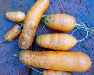 """survivor"" carrots, minus the big ones I ate and the ones in the mandala!"