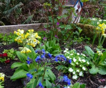 Primulas and Lungwort